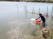 Kien Giang actúa por aumentar producción de camarón de cultivo