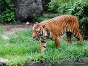 En Vietnam sólo quedan 20 tigres de Indochina