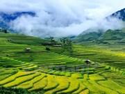 En fotos la temporada dorada de arrozales en Mu Cang Chai