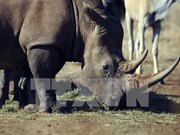 Cuerno artificial no previene caza ilegal de rinocerontes