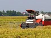 Rendimiento arrocero vietnamita alcanzará 45 millones de toneladas