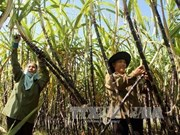 Vietnam y Australia intercambian variedades de caña de azúcar
