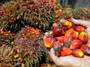 Indonesia y Malasia fundarán Consejo de productores de aceite de palma