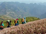 Alfombras de flores de alforfón cubren meseta rocosa Dong Van