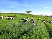 Asistencia de la localidad francesa al cultivo de té vietnamita