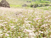Abre sus puertas Festival de flores de alforfón en meseta Dong Van