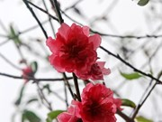 Atmosfera de Año Nuevo Lunar llega temprano a aldea de flores Nhat Tan