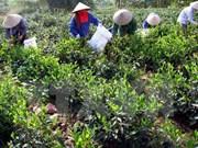 Eliminación del hambre y reducción de la pobreza a través de té