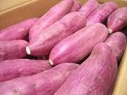 Certifican como sanas batatas de Vietnam exportadas a Singapur