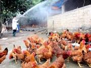 Vietnam intensifica labores preventivas contra epidemia aviar
