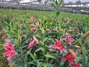 Aldea de floricultura de Tay Tuu en vísperas del Tet
