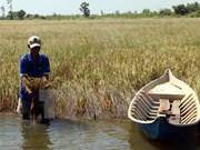 Intrusión salina afecta a miles de hectáreas de arroz en provincia vietnamita