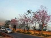 Hanoi planta más cerezos obsequiados por Japón