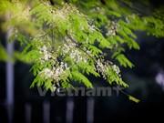 Hanoi romántica en blanco de flor