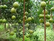 Pomelos de Tan Trieu afianzan posición en mercado nacional e internacional