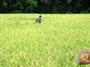 Indonesia fija meta de exportación de arroz