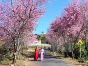 Primer Festival de flor de cerezo en Ciudad Ho Chi Minh