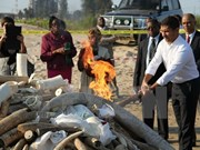 Malasia destruye a cerca de 10 toneladas de colmillos de elefantes