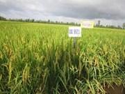 Delta del Mekong desarrolla variedades del arroz resistentes a la salinidad