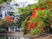 Flores de flamboyán, señal de verano en calles de Hanoi