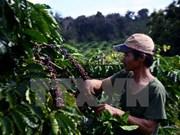 Provincia altiplana vietnamita impulsa replantación de café