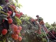 Provincia norvietnamita de Hai Duong exporta cinco mil toneladas de lichi