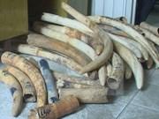 Policía de Hanoi descubre gran cantidad de colmillos de elefantes