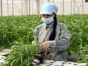Desarrollan proyecto de agricultura de alta tecnología en Thua Thien-Hue
