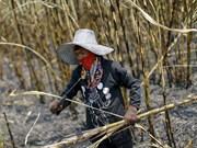 Tailandia permite la construcción de 25 fábricas de azúcar
