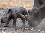 Vietnam llama a refutar legalización de comercio de cuernos de rinoceronte
