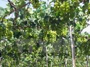 Inauguran Festival de uva, vino y gastronomía en Ninh Thuan
