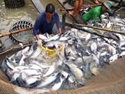 China se convierte en segundo mayor mercado de pescado Tra de Vietnam