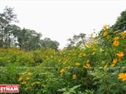 Temporada de florecimiento de girasoles silvestres en la montaña de Tan
