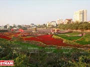 Hanoi se embellece con valle de flores