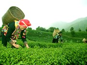 Té orgánico de Vietnam espera conquistar mercados mundiales