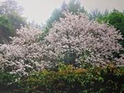 Flor de Bauhinia, un símbolode la región noroeste de Vietnam