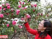 Cultivo de antiguas variedades de rosa en Hung Yen