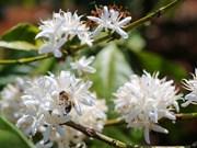 Flores de café blanquean la Altiplanicie Occidental de Vietnam