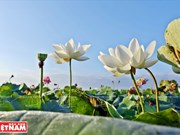 [Fotos] Los doce extraños lotos de la laguna de Ninh So