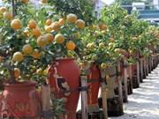 (Video) Exhibición de bonsái de kumquat, muestra del deseo de prosperidad en el Tet