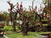 El placer de cuidar árboles de melocotón en Vietnam