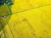 [Foto] Belleza de la temporada de cosecha de arroz en Ninh Binh
