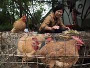 Sudcorea vuelve a importar pollos de Tailandia