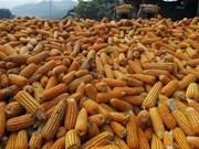 Indonesia planea suspender importación de maíz en 2017