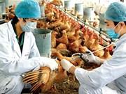 Reportan brote de gripe aviar H5N1 en Camboya