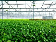 Desarrollan modelo israelí de invernadero en provincia vietnamita