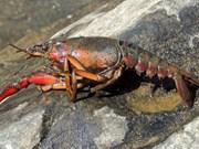 Vietnam veda cría de cangrejos rojos