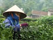 Invierten 10 millones de dólares en desarrollo de marca de té vietnamita