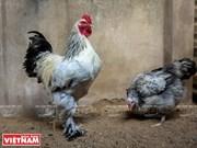 Cría de pollos Brahma en Saigón