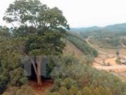 Reconocen a árbol patrimonial milenario en provincia norvietnamita